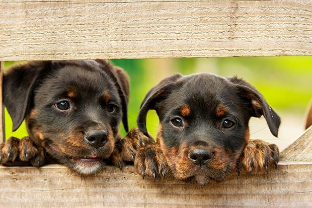 Cães: veterinário dá dicas de como ensinar um filhote!
